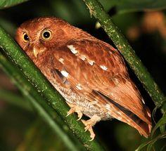 A red morph Vermiculated Screech-Owl. Found at the Veragua Rainforest in Costa Rica.