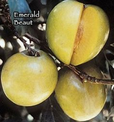 (F2) Emerald Beaut  F2 middle, spring 2013 Raintree - late season Ripe fruit holds on tree longer than any other stone fruit-two months or more. It continues to sweeten, becoming exceptionally sweet, but it remains crisp and crunchy! Green skin, which gets yellower as it fully ripens and yellow/orange freestone flesh. Beauty plum or a pluot are good pollinizers. Zaiger  high-rated plums in blind tastings. - bloom <4/10/14 - trimmed.  1st spray 4/4/15 few blooms left - 3/24/16 bloom done