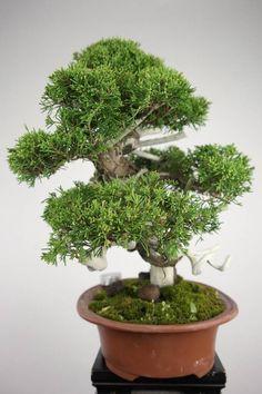 Bonsai Chinese Juniper