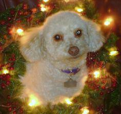 Bella in a christmas wreath!