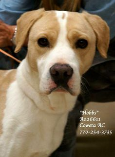 URGENT~HOBBS-Lab Retr Mix NEUTERED Male  4Yrs  Size:Med #A026611 Vaccinated, Heartworm Neg. CONTACT COWETA COUNTY ANIMAL CONTROL TO ADOPT THIS PET:  91 Selt Road, Newnan, GA. (770)254-3735  Gentle, well-mannered boy. Waits patiently to be noticed. Begs w/ his eyes! Responsive to direction.  Won everyone over and melted their hearts. He is almost out of time! Looking for a loving, forever home. Intake: 11/12/13 NOTE: CCAC CANNOT ADOPT ONLINE OR OVER THE PHONE. ADOPTIONS MUST BE DONE IN…