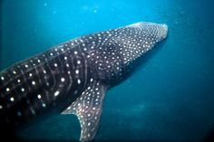 Swimming+With+Whale+Sharks+in+Ningaloo+Reef