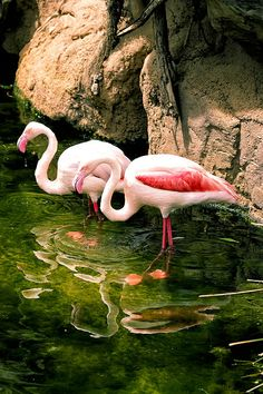 This is another flamingos related image, but I like the color contrast between pink and green. Looks so  good decorating an office or a living room.  http://fineartamerica.com/featured/two-flamingos-goyo-ambrosio.html