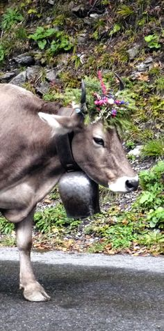Sweet Swiss cow coming home in the fall. Glarus CH 2012Home for the homecoming game @Chef Robin White