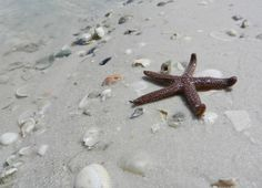 Starfish, Southern end of Fort Myers Beach