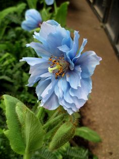 Double Meconopsis, Himalayan Blue Poppy at Longwood Gardens (photo by ourfairfieldhomeandgarden.com)
