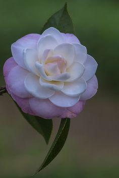 Lovely Pastel Pink Camellia