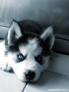 We haven't had a husky puppy because we have rescued our dogs but I bet this is what Luna looked like. Adorable!
