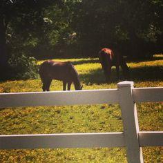 Horses in Chesapeake, Virginia