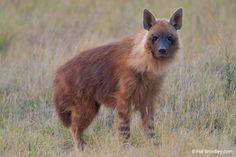 A Brown Hyena (Hyaena brunnea), the rarest species of hyena, in the Makgadikgadi Pans of Botswana.