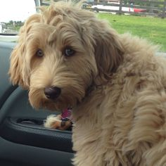Labradoodle!! MY IN LAWS HAVE OR HAD 2 !! NOW JUST ONE AND SHE IS SUCH A LOVER... GREAT DOGS .. THIS ONE IS ADORABLE