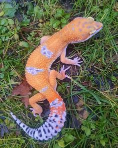 🔥Click the image to see more. Tangerine and lavender. Leopard Gecko Cute, Cute Gecko, Cute Reptiles, Reptiles And Amphibians, Lizard Tank, Baby Animals, Cute Animals, Cute Lizard, Bearded Dragon Cute