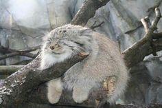 Adorable!!! Pallas cat