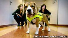 Perros para detectar superbacterias con el olfato