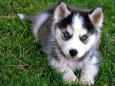 Cute blue eyes husky