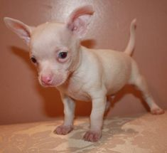 Micro Teacup Chihuahua | My little puppies are ready -MICRO TEACUP CHIHUAHUA for sale in ...