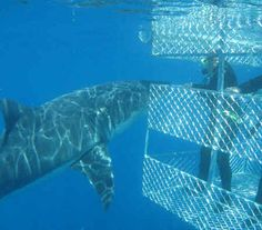 I know it sounds crazy but I want to go cage diving just once with my hunny off of one of the beaches in south africa.