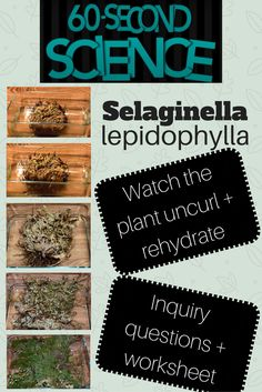 Watch this short video of selaginella lepidophylla as it uncurls and rehydrates itself. This video also includes inquiry questions and a worksheet for students to use! Science Videos, Life Science, Notebooks, Worksheets, Students, Teacher, This Or That Questions, Learning, Watch