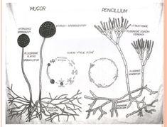 Výsledek obrázku pro stavba těla penicillium