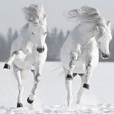 the snow . - T Buillon -Dancing in the snow . - T Buillon -in the snow . - T Buillon -Dancing in the snow . - T Buillon - Cute Baby Horses, Pretty Horses, Beautiful Horses, Animals Beautiful, The Snow, I Love Snow, Black Horses, Wild Horses, Black And White Hallway