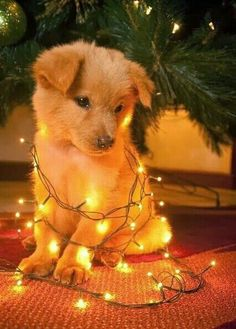 Untangling Christmas lights can be a ruff job! - My Doggy Is Delightful Super Cute Puppies, Cute Baby Dogs, Cute Little Puppies, Cute Dogs And Puppies, Cute Little Animals, Cute Funny Animals, Doggies, Adorable Puppies, Buy Puppies