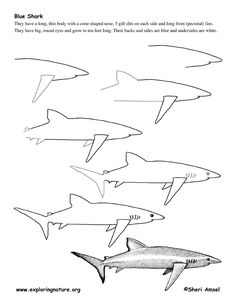 Drawing Lesson PDFs BLUE SHARK @ http://www.exploringnature.org/graphics/drawing/shark_blue_drawing.pdf OCTOPUS @ http://www.exploringnature.org/graphics/drawing/octopus_drawing.pdf SQUID @ http://www.exploringnature.org/graphics/drawing/squid_drawing.pdf STINGRAY @ http://www.exploringnature.org/graphics/drawing/drawing_stingray.pdf