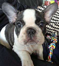 Mushy is a little Frenchie that attracts tons of attention around town for his good looks. He loves meeting new people and dogs on walks and will do just about any trick for a spoonful of peanut butter. At home, Mushy loves to cuddle with everybody and play with each of his many toys. Mushy is a Chicago Bulls basketball fan and loves to cheer them on with his owners!