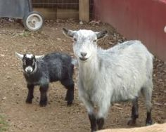 I'm addicted to Craigslist. Just look at these Pygmy goats!