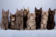 I successfully hid all my cats from various landlords. Maine Coon cats by Shutterstock.