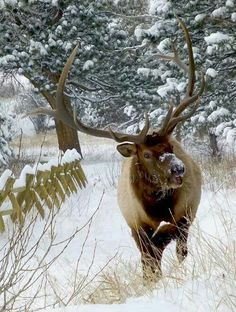 Follow #EstesElkWatch to find live updates of where the local Elk are in Estes Park, Colorado. See an elk? Share where you are currently spotting this favorite Estes Park resident.