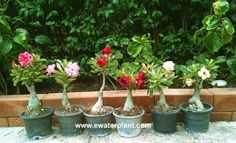 "Thai rosy grows in pot. They look like ""Roses"" flower of also comes in white, yellow, pink, red, violet and mutlicolored. All Plants, Indoor Plants, House Plants, Grafting Plants, Plant Order, Desert Rose, Orchids, Thailand, Succulents"