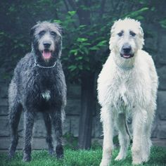 "thegreymanoir: ""•irish wolfhounds• """