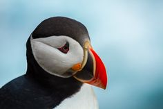 The Atlantic puffin has a black crown and back, pale grey cheek patches and white underparts. Its broad, boldly marked red and black beak and orange legs contrast with its plumage.