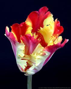 Flaming Parrot - Parrot Tulip © 2015 Patty Hankins