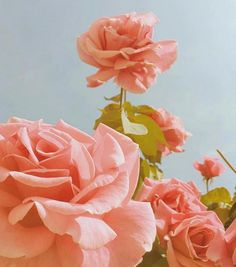 flower aesthetic Rosen 2 - My Aesthetic - Aesthetic Roses, Peach Aesthetic, Aesthetic Drawing, Aesthetic Colors, Aesthetic Vintage, Photo Wall Collage, Picture Wall, Pink Wallpaper, Wallpaper Backgrounds