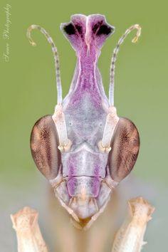 Photo Idolomantis diabolica l2 by sauce7  on 500px