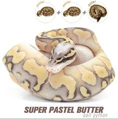 Post anything (from anywhere!), customize everything, and find and follow what you love. Create your own Tumblr blog today. Pretty Snakes, Beautiful Snakes, Animals Beautiful, Cute Reptiles, Reptiles And Amphibians, Snake Breeds, Snake Photos, Burmese Python, Python Regius
