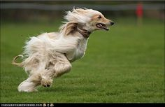Afghan Hound - poetry in motion!    Is it just me or does this sort of look like big bird?