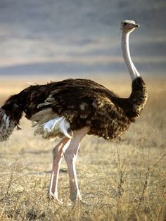 """Has the wing of the female ostrich flapped joyously, or has she the pinions of a stork and the plumage?""  Job 39:13"