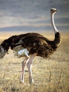 Avestruz/Ostrich
