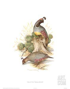 Gamble's quail by Charles Murphy