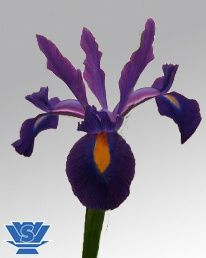 Salvatore ® (IRIS) Purple/Yellow 80-90cm