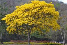 """<p>El 29 de mayo de 1948, fue declarado el Araguaney Árbol Nacional de Venezuela, tras decreto del entonces presidente Rómulo Gallegos. Este árbol pertenece a la especie chrisantha, una palabra compuesta de dos vocablos griegos que significan """"flor de oro"""", su nombre científico Tabebuia es de origen indígena. El término """"araguaney"""" tiene sus orígenes en la voz Caribe """"aravenei"""" con la que ese pueblo indígena daba nombre a este árbol.</p>"""