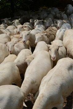 Royal Whites sheep.| Reading Eagle - BERKSCOUNTRY #sheep #goats #royal-white-sheep #farm #sheperd #farmer #berks-county