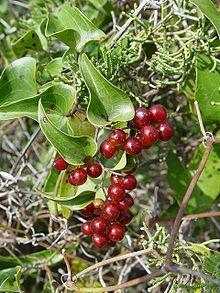 If you're interested in wild foraging, try a nibble of the succulent tips of catbriar, aka greenbriar (Smilax sp.), another thorny, clinging herb mentioned in Cat's Claw. Parts of the plant, including the calorie-dense tubers, are edible. It has a sarsaparilla-like flavor and was an ingredient in old-fashioned root beers.