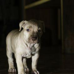 Filhotes de cachorro - APBT