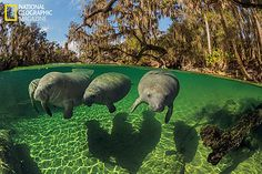Manatees swim close to the waters surface because they are air-breathing mammals. They use their stiff facial bristles to guide food into their mouths. © Paul Nicklen/National Geographic
