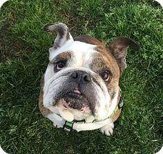 Santa Ana, CA - English Bulldog. Meet Bruiser, a dog for adoption. http://www.adoptapet.com/pet/15062148-santa-ana-california-english-bulldog