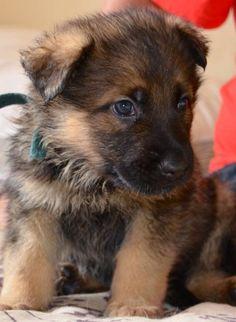 German Shepherd puppy. So cute!