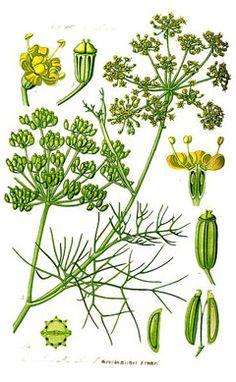 FENCHEL - HINOJO - FENNEL (Foeniculum vulgare) Weiterverarbeitet und genossen werden einerseits die Knollen (v. a. in Salaten, Gemüsegerichten und als Beilage zu gedünsteten Fischgerichten), andererseits die Samen, die mit dem Anis vergleichbar sind. Letztere werden manchmal als Gewürz in Schwarzbrot mitgebacken oder zu einem Tee aufgegossen, der beruhigend bei Magen- und Darmbeschwerden, wie beispielsweise Völlegefühl, wirkt.